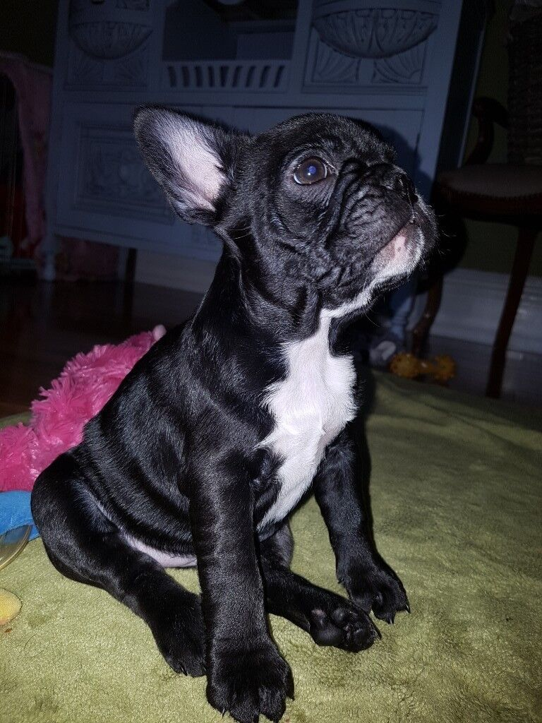 Brindle Black French Bulldog Puppies
