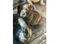 Staffordshire bull terrier male puppy ready to go now