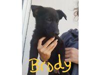 Reduced!!! German shepherd X belgian shepherd puppies