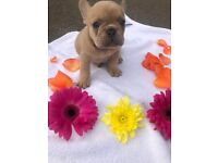 8 week old Frenchie Puppies KC Registered*ONLY 3 remaining*