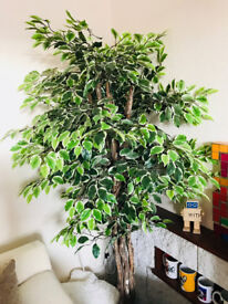 Artificial plant - 5ft8 Ficus Tree With Real Wood Stems and Lifelike Leaves