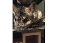 2 year old male chinchilla and cage