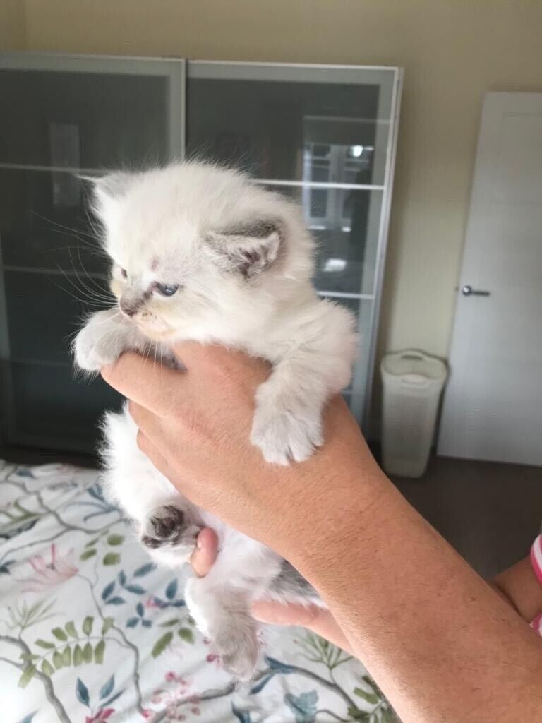 Beautiful Ragdoll Kittens for Sale - One Girl Left