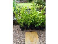 Griselinia Littoralis Evergreen Hedging Plants