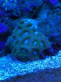 Favia coral frag
