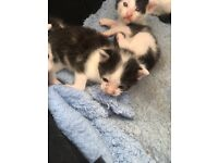 Kittens looking for there loving forever homes