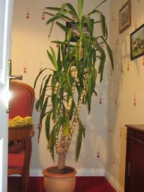 Large Yucca Plant 2 metres high with Ceramic Pot