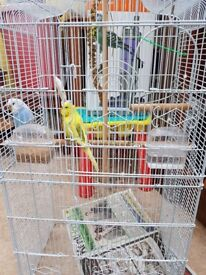 3 Budgies and cage with food