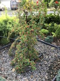 Weeping Cotoneaster