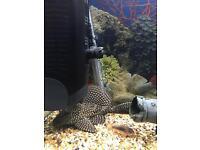 Plecostomus Common pleco