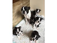 *BOSTON TERRIER PUPPIES FOR SALE*