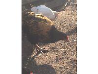 Buff x black Orpington cockerel