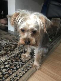 Yokshire terrier