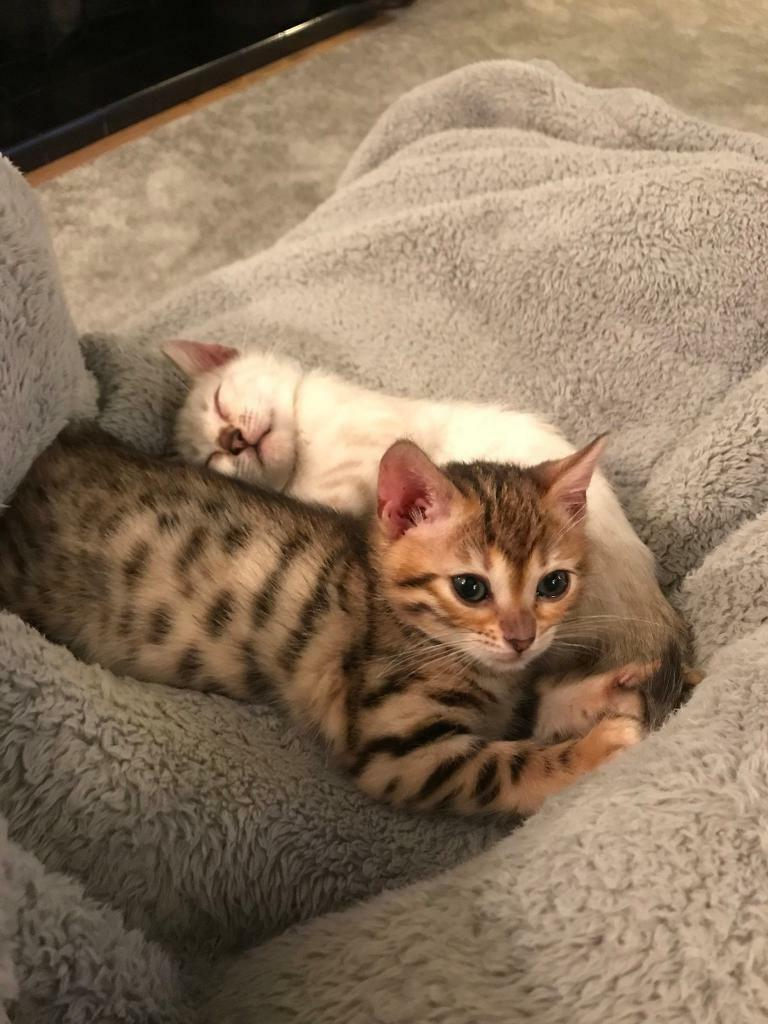 F3 Bengal Kittens | in Altrincham, Manchester | Gumtree