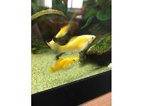 Molly Tropical Aquarium Fish
