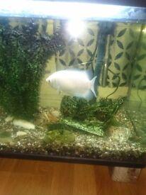Kissing fish and algae eater