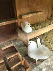 White garden fan tail doves