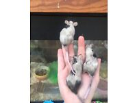 Male Mice for sale