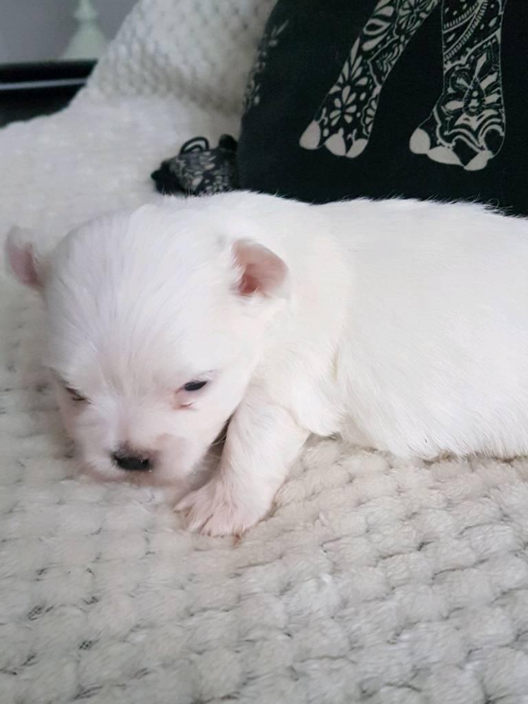 Maltese puppys