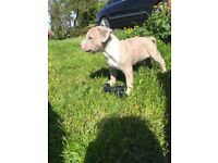 XL AMERICAN BULLY PUPS (kennel club registered papers in hand)