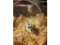 Female Russian Dwarf Hamster - 4 Month Old