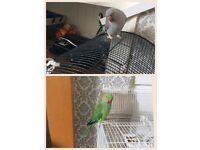 Indian ringnecks on for sale cages included