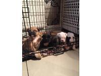 French bulldog pups blue bloodline