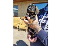 Standard wirehaired dachshund/teckle puppy