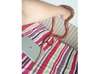 corn snake collection for sale