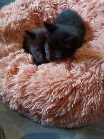 2 kittens all black