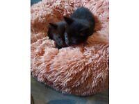 2 kittens all black