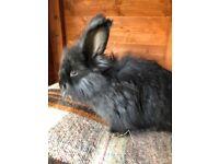 English Angora baby rabbits