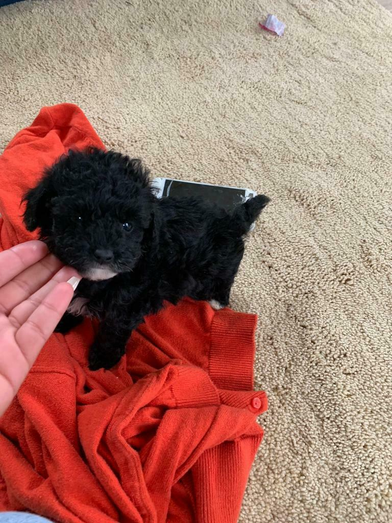 Toy Poodle puppies | in Pinxton, Nottinghamshire | Gumtree