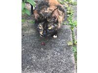 Female Tortoiseshell Cat Free To Loving Home