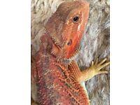 Bright orange /red hypo trans male bearded dragon