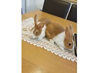 2 Beautiful Pure Bred Baby Dutch Bunnies For Sale