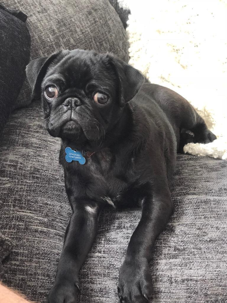6 month old male pug puppy