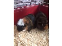 TWO Lovely Guinea Pigs For Sale, Two Cages 1 Large 1 Small and Bags of Wood chippings and Hay