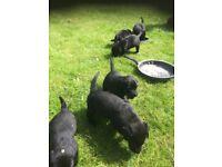 Beautiful Black Labrador Puppies