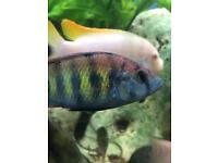 Lake Victoria cichlids fish