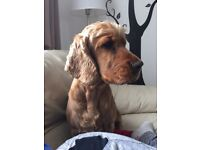 6 years old female cocker spaniel looking for a good home