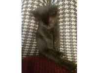 Grey black boy male kitten cat part bombay orange eyes