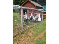 Silver Spangled Hamburg Cockerels