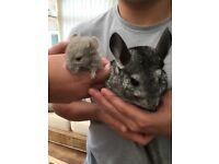 Chinchilla mother and daughter
