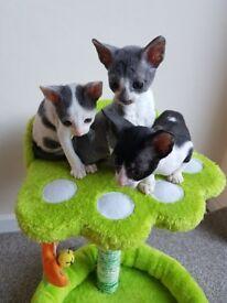 Beautiful cornish rex kittens