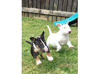 2 male bull terrier puppies