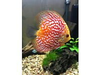 Red Pigeon Discus Fish 6 Inch