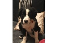 Collie bitch for sale