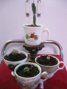 WINDOW-LEDGE-SPECIALS...CUPPA-CACTUS in a TEA CUP
