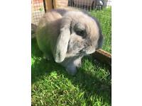 Male Dwarf Lop rabbit with Hutch and run